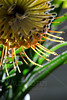 Flower pictured :: Protea<br /> <br /> Flower provided by :: Babylon Floral<br /> <br /> 010513_007315 ICC sRGB 16in x 24in pic
