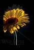 Little Lion<br /> <br /> Gerber Daisy<br /> <br /> 010112_002552 ICC adobe 16in x 24in pic 20in x 30in matte