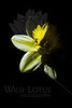 Flower pictured :: Daffodil<br /> <br /> 030112_002697 ICC adobe 16in x 24in pic 20in x 30in matte