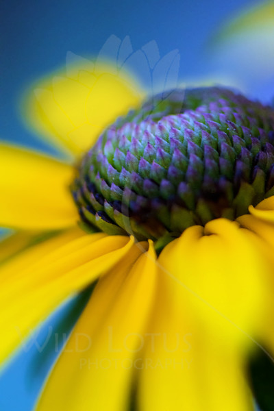 Flower pictured :: Black-eyed Susan<br /> <br /> Flower provided by :: Tagawa Gardens<br /> <br /> 081013_000315 ICC sRGB 16x24 pic
