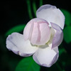 Soft shades of pink and lavender kiss the petals of this Gardenia as it just  starts to bloom.