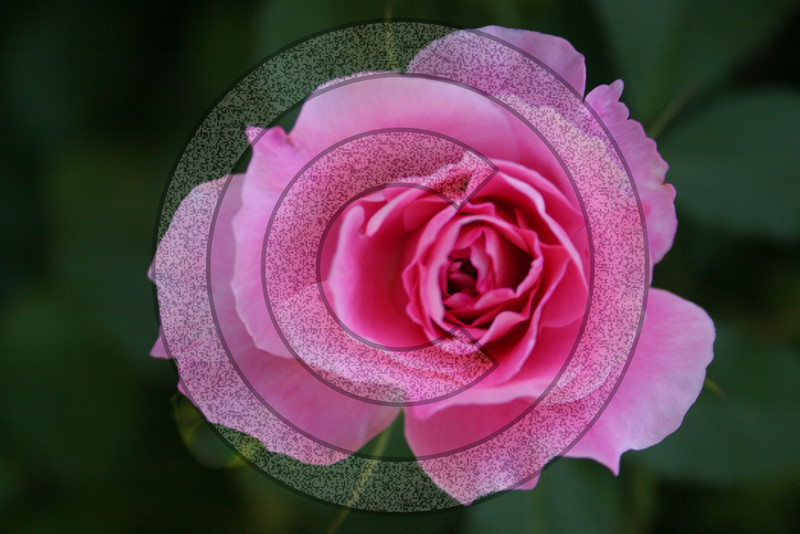 Delicate pink rose amid a sea of cool blue green foliage.