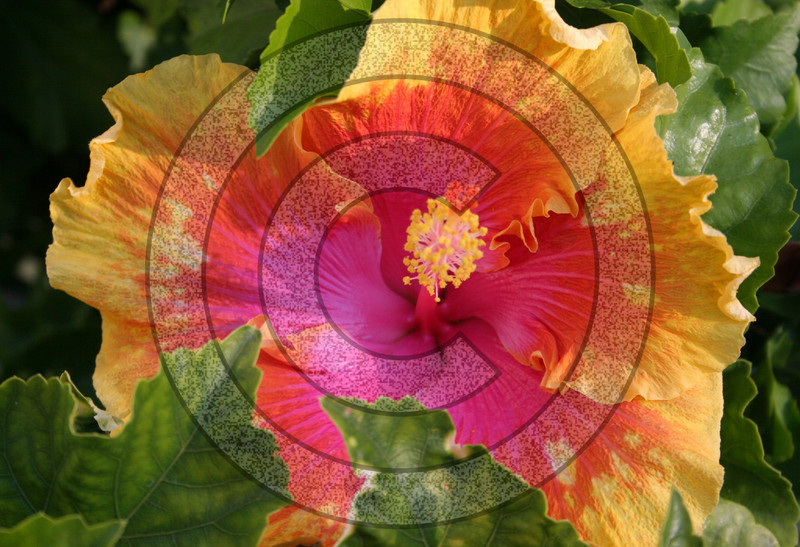 Brightly colored hibiscus flower gauranteed to bring a huge splash of color to any drab room!