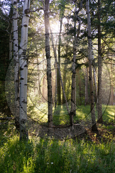 Shafts of sunlight bursting through the aspens in a forest clearing.