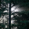 Burst of sunshine through the boughs of evergreens in the forest.