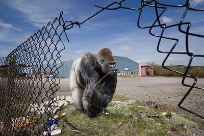 Lost gorilla