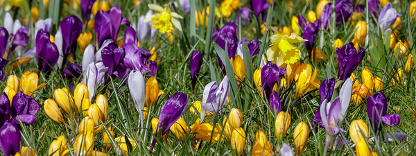 Crocus and daffodil