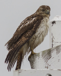 Galveston Island Birding - 2013-11-18