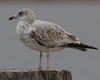 Ring-billed Gull (juvenile)