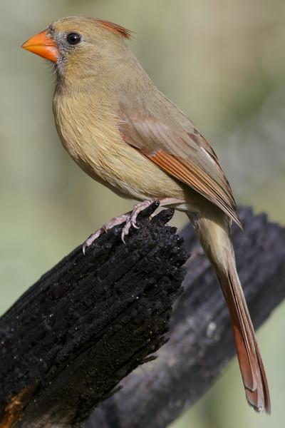 Northern Cardinal (female)