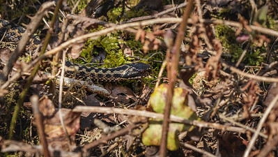 Adder moving through thick undergrowth