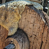 Solid Wooden Wagon Wheel on Carreta with Sheepskin Hide, El Rancho de la Golondrinas, Los Pinos Road, Santa Fe, New Mexico