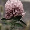 Red Clover (Trifolium pratense), Augusta Co, VA