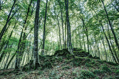 The Jordan's beech wood, Catalonia