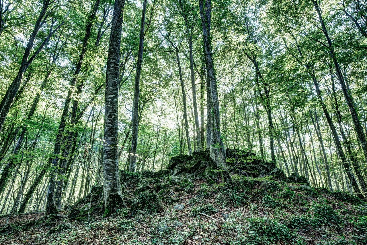 The Jordan's beech wood, Catalonia