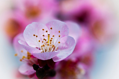 Apricot Flower, Close Up