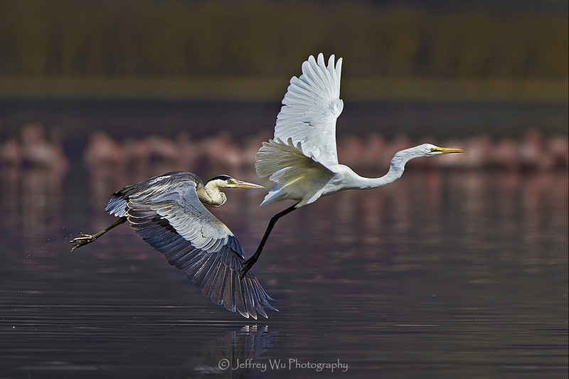 The Odd Pair (A great blue heron chase away a great white egret in Lake Naivasha,Kenya,)