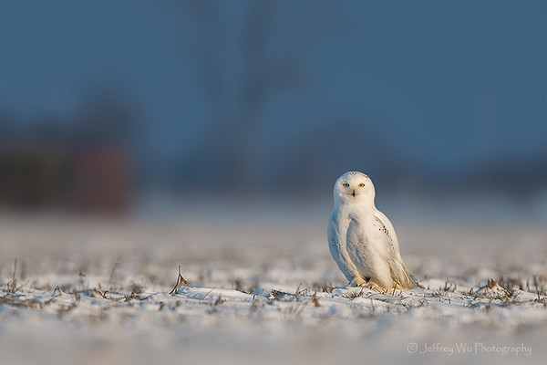 snowy owl 008