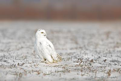 snowy owl 009