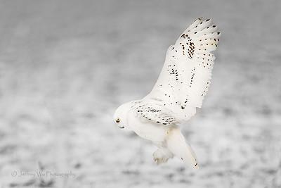 snowy owl 010