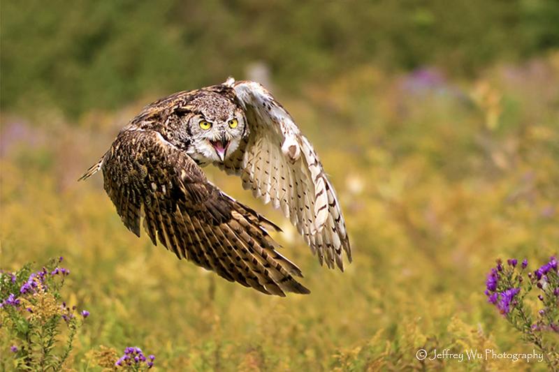 great horned owl 005