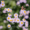 Beautiful Fleabane Flowers