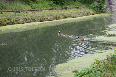 Canadian Geese Family on the C & O Canal