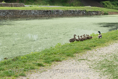 Duck Family on an Outing