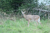 White-tailed Deer - Finzel (parking area)