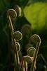 Fiddle Heads - Finzel