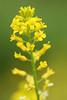 Wild Mustard - Finzel