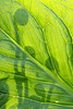 Fiddle Heads Silhouetted thru Skunk Cabbage Leaf - Finzel