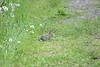 Cotton-tailed Rabbit - Finzel