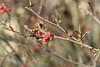 Red Hawthorn Buds - Finzel