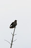 Redwinged Blackbird (female)