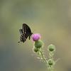 Spice Bush Swallowtail