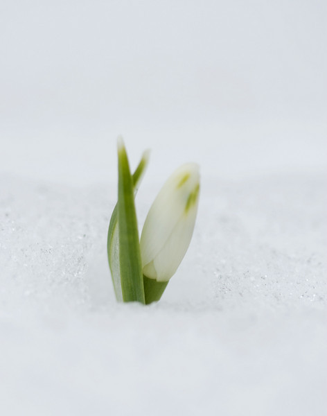 Week 11 - End of winter (Snow Drop)
