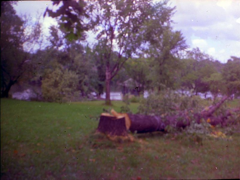 #81 Felled Trees at 1710 MRD undated about 1965-66