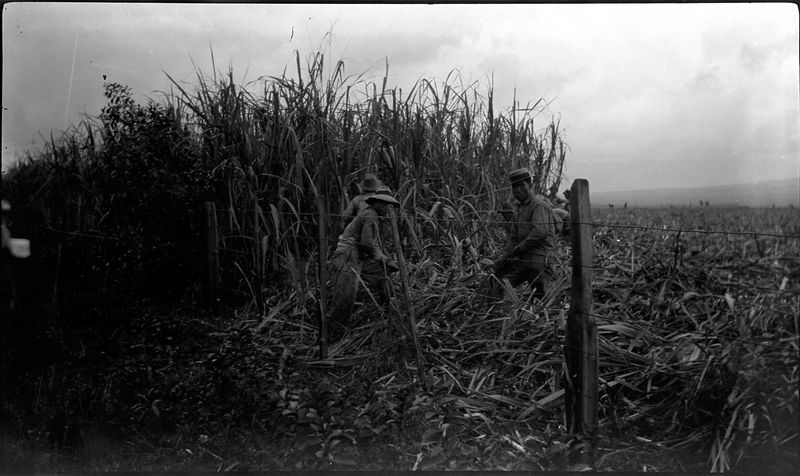 # 37 Workmen in SugarCane field
