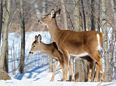 Cerfs de Virginie - Parc des Iles de Boucherville le 06 février 2013.