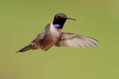 gerlach hummingbird photo workshop; bull river guest ranch; british columbia, canada; no flash