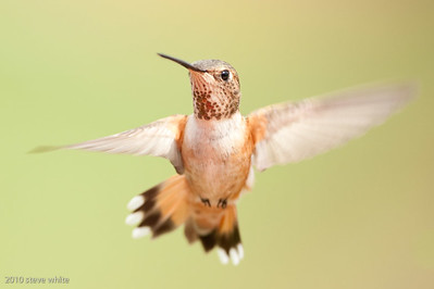 gerlach hummingbird photo workshop; bull river guest ranch; british columbia, canada; no flash