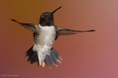 gerlach hummingbird photo workshop; bull river guest ranch; british columbia, canada