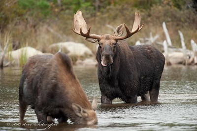 moose at Stump Pond; 3rd bull seen here