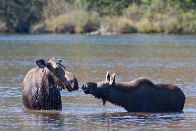 cow and young bull at Sandy Stream
