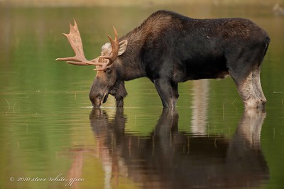 1st bull moose at Stump Pond