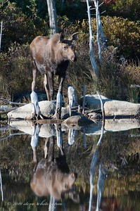 moose at Stump Pond