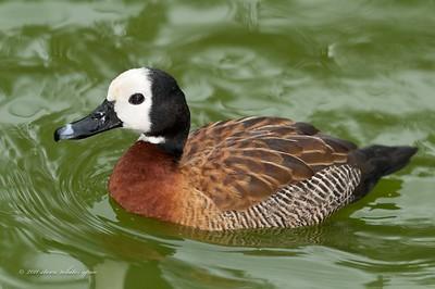 sylvan heights waterfowl park; scotland neck, nc