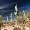Saguaro National Park - Tucson Mountain District - Saguaro Cactus (1 of 5)