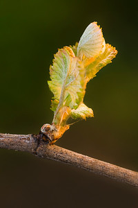 Bud Break, Pinot Noir, Russian River Valley